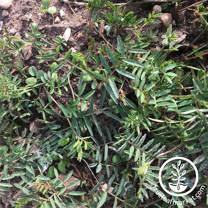 Hairy Vetch Cover Crop Seeds - Organic