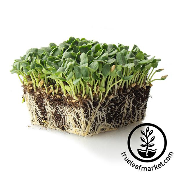 cantaloupe microgreens white background