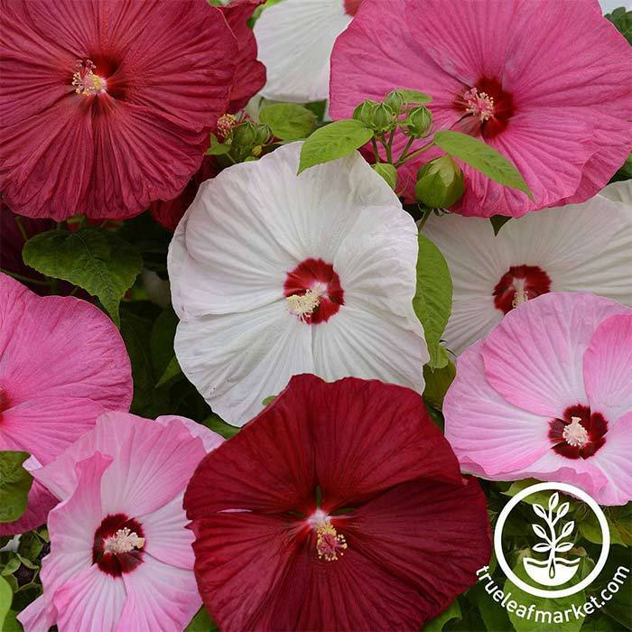 Hibiscus Luna Series Mix Flower Seed