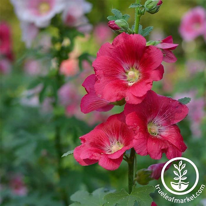 Hollyhock Indian Spring Seed