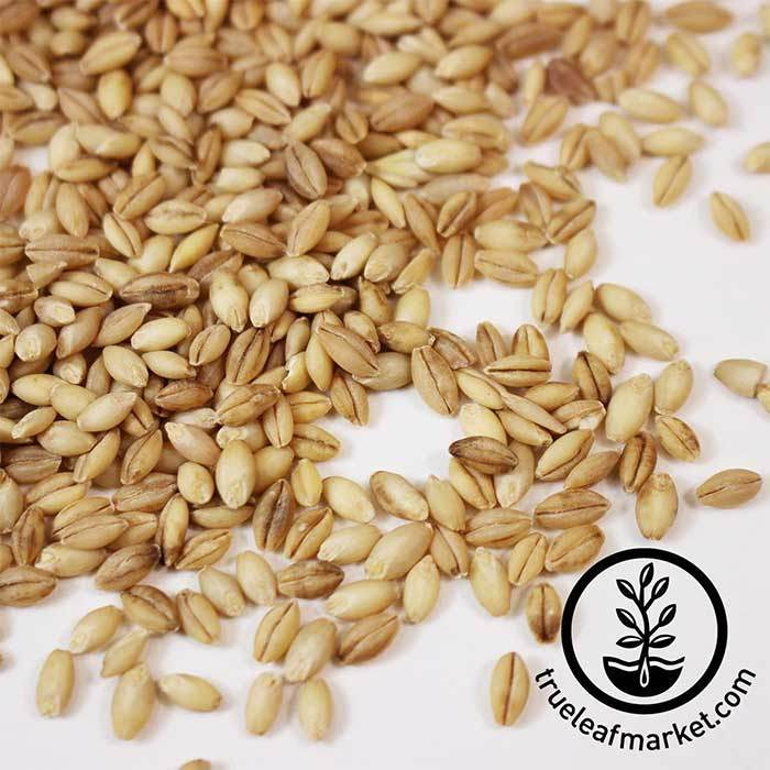 Barley - Hulless (organic) - Sprouting Seeds Close Up seeds