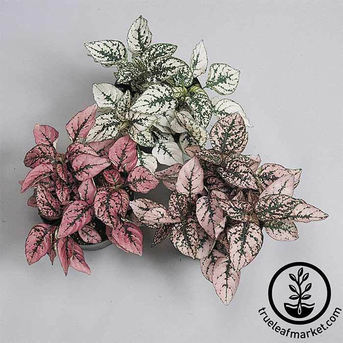 Hypoestes Splash Select Series Mix Seed