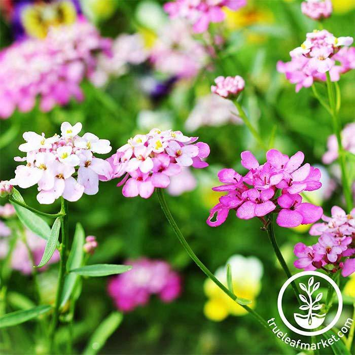 Iberis Candytuft Empress Mixture Seed