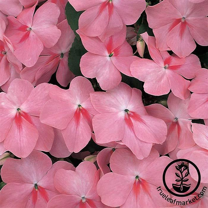 Impatiens Accent Series Coral Seed
