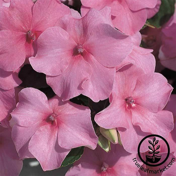 Impatiens Accent Series Deep Pink Seed