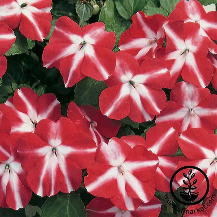 Impatiens Accent Series Red Star Seed