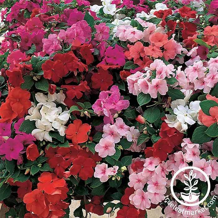 Impatiens Accent Series Mixture Seed