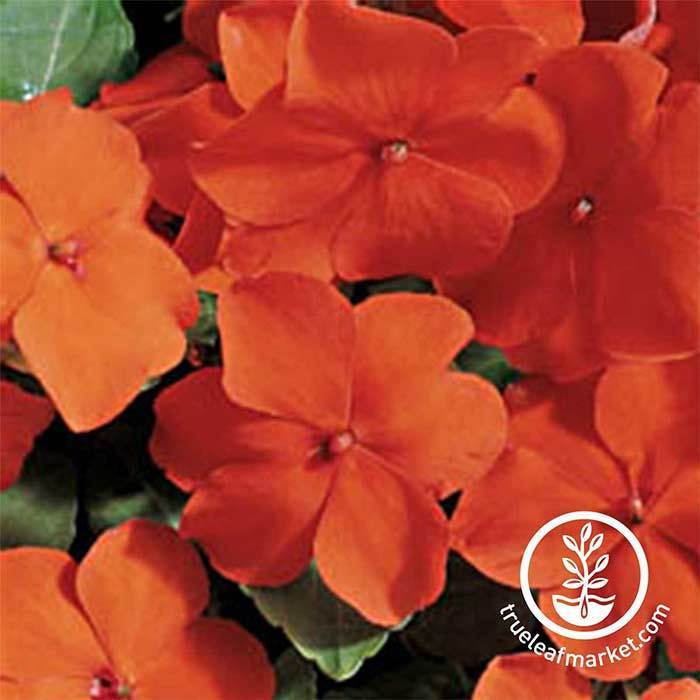 Impatiens Accent Series Orange Seed