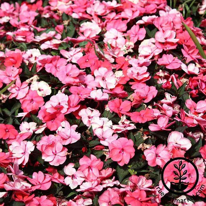 Impatiens Accent Series Peppermint Mix Seed