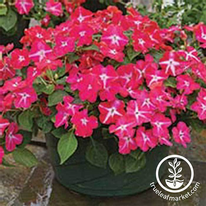 Impatiens Tumbler Series Rose Star Seed