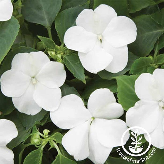 Impatiens Tumbler Series White Seed