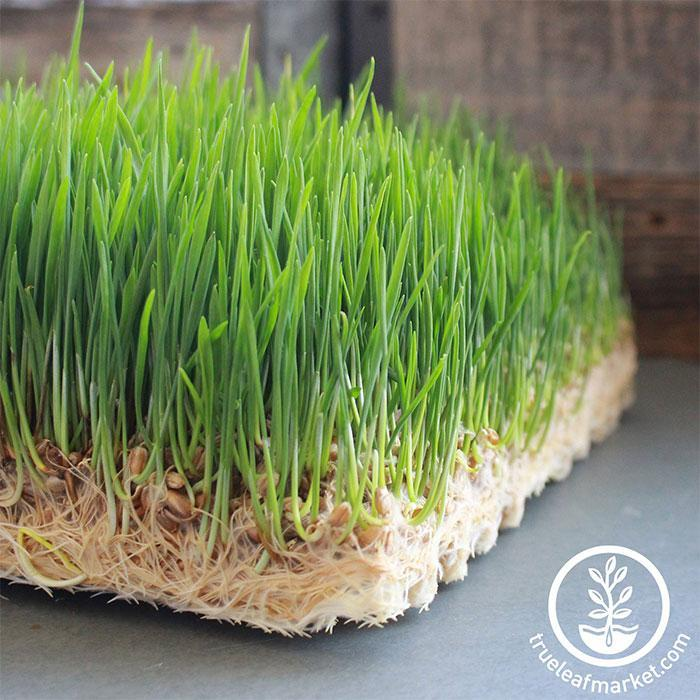 Jute Microgreens Grow Mats - 10x20 close up wheatgrass growing