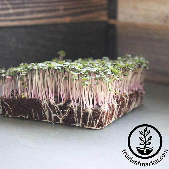 Red Russian Kale Microgreens