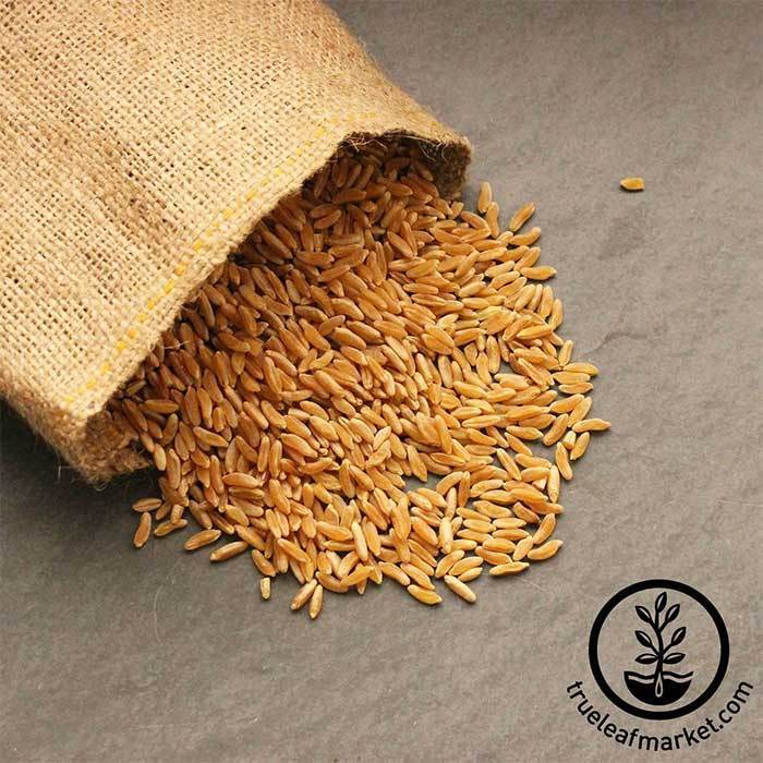 organic kamut sprouting seeds available from small quantity to bulk
