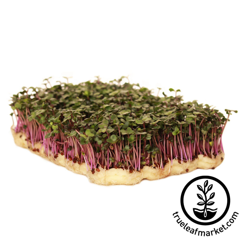 Kohlrabi - Purple Vienna - Microgreens Seeds