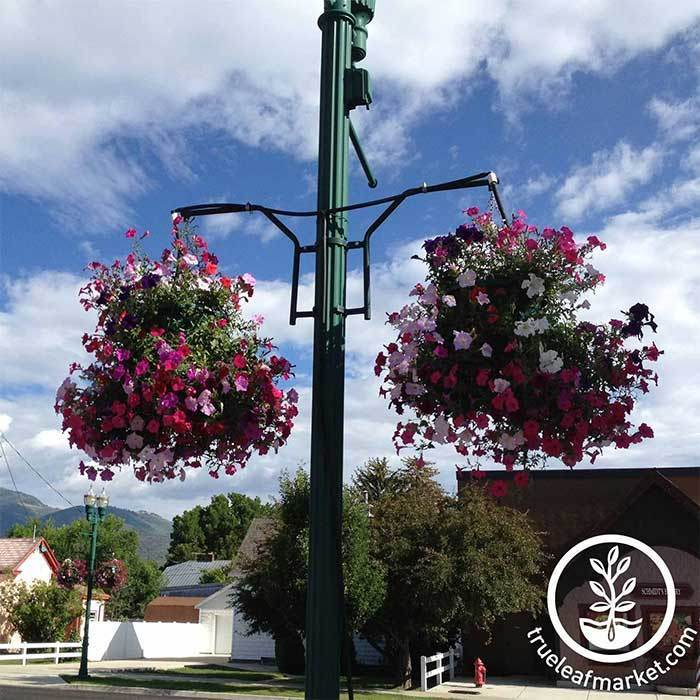 Double Arm - Round Stock Lamppost Hanger - Flowers Growing