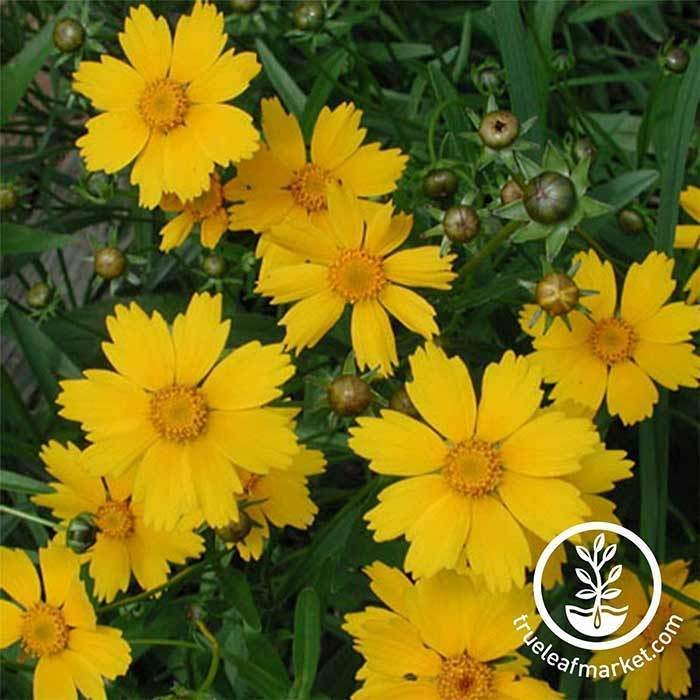 Lanceleaf Coreopsis Flower Seeds
