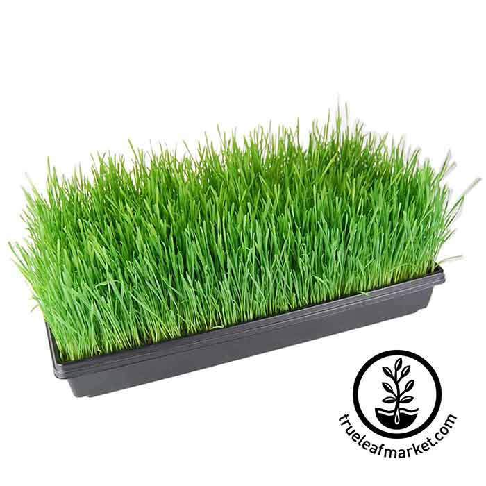 Full Tray of Grown Wheatgrass