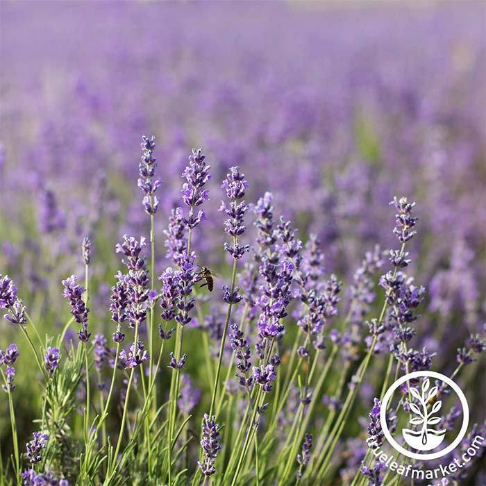 Lavender Common English Seed