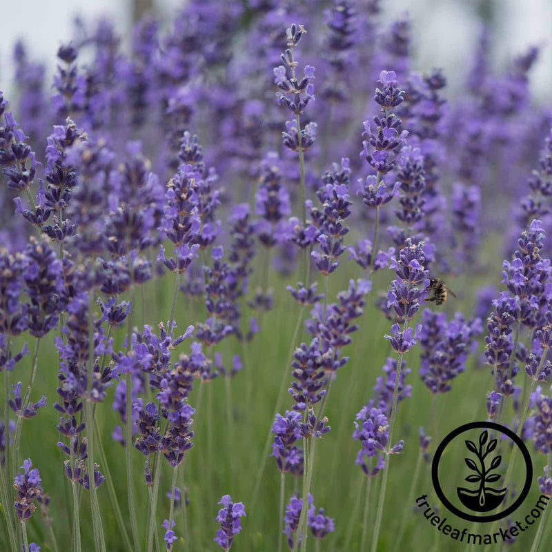 Lavender Munstead Herb Seeds