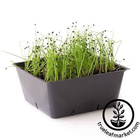 carantan leek micro greens white background