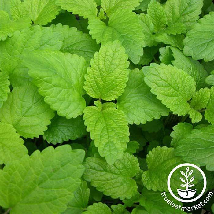 The Growing Lemon Balm Plants - General Planting & Growing Tips Statements