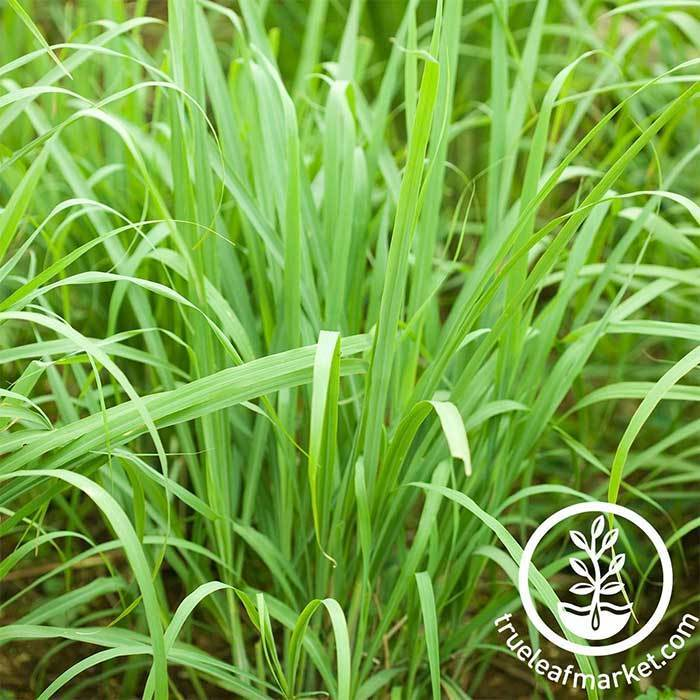 Lemon Grass -  Herb Seeds