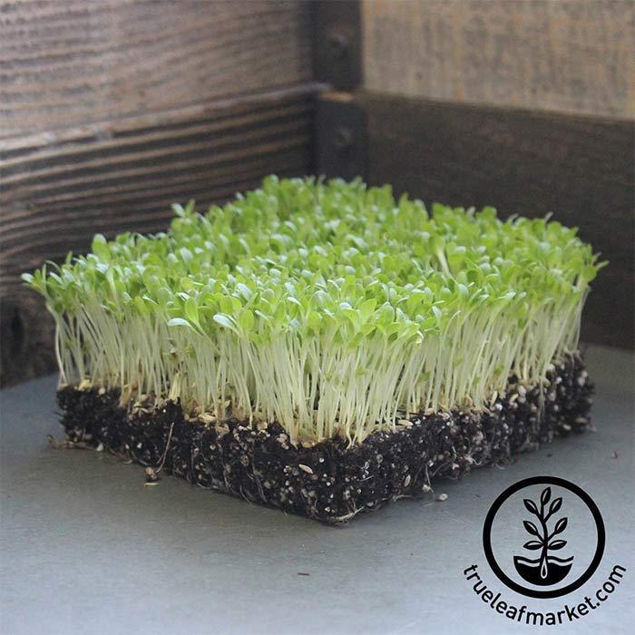 Lettuce, Romaine - Freckles - Microgreens Seeds