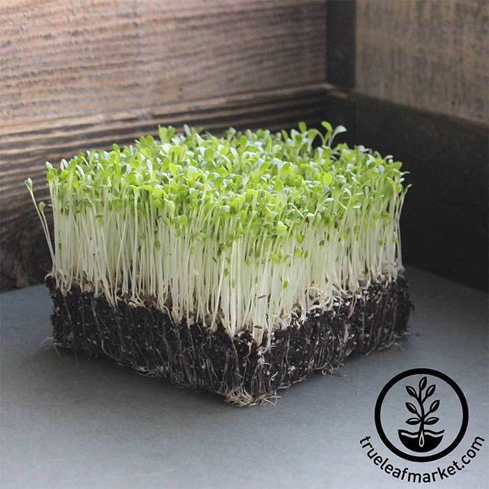 Lettuce - Gourmet Mixture - Microgreens Seeds