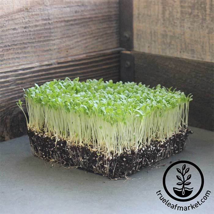 Lettuce Crisphead - Hanson Improved - Microgreens Seeds