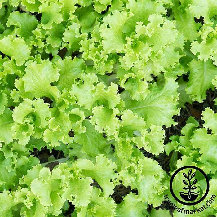 Lettuce Leaf Black Seeded Simpson Seed