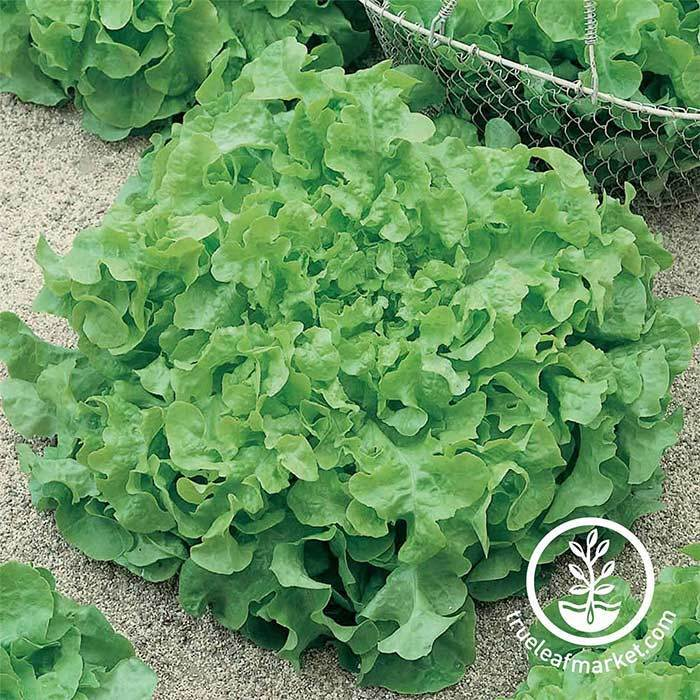 Lettuce Leaf Salad Bowl Green Seed