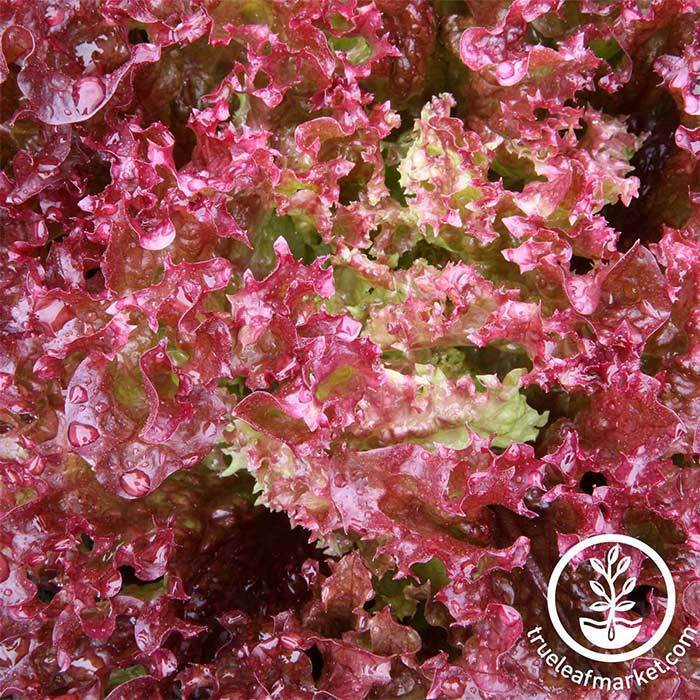 Lollo Rosso Lettuce Leaf Seed
