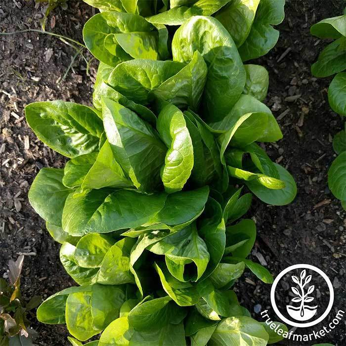 Little Gem Romaine Lettuce Seeds