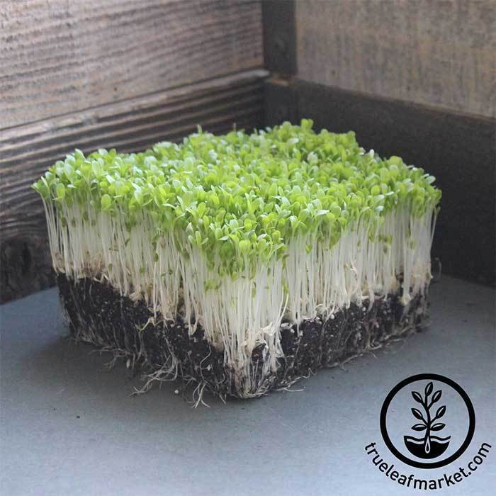Lettuce Leaf - Ruby Red - Microgreens Seeds