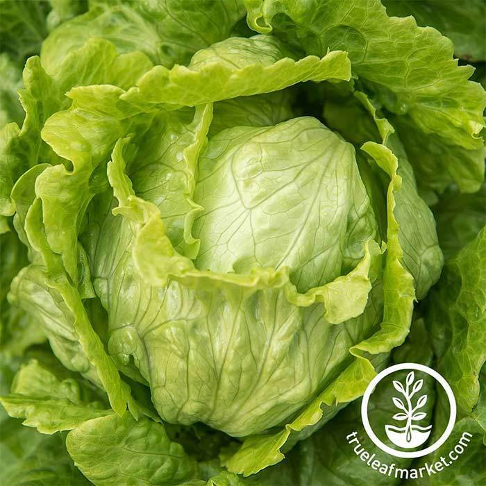 Lettuce Seeds, Crisphead - Webbs Wonderful