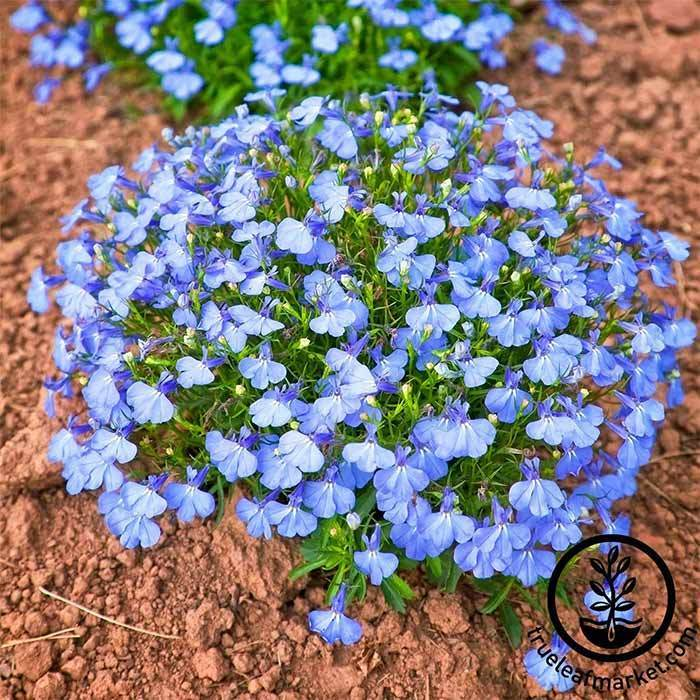 Lobelia Flower Garden Seeds Cambridge Blue Annual Flower Gardening