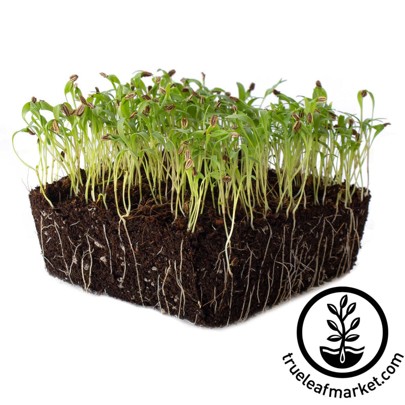 lovage microgreens white background