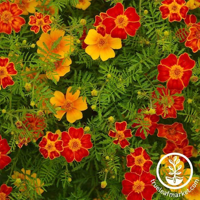Marigold Disco Series Mix Seed
