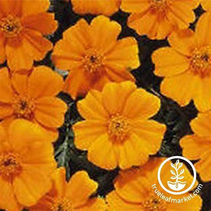 Marigold Disco Series Orange Seed