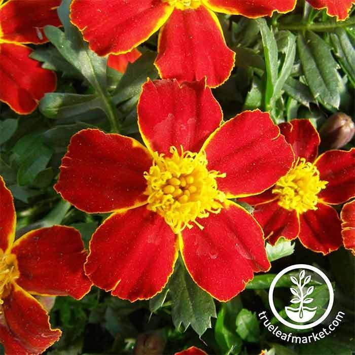 Marigold Disco Series Red Seed