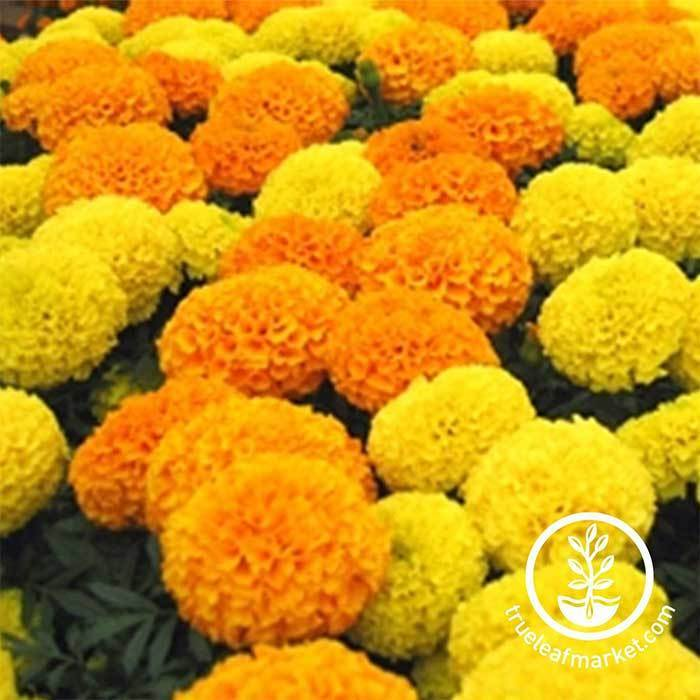 Discovery series marigold seeds marigold flower garden seeds marigold discovery series mix mightylinksfo