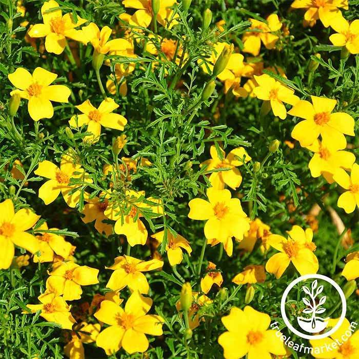 Marigold Signata Gem Series Lemon Seed