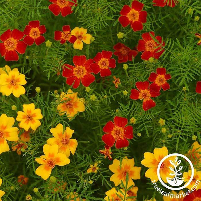 Marigold Signata Gem Series Mix Seed
