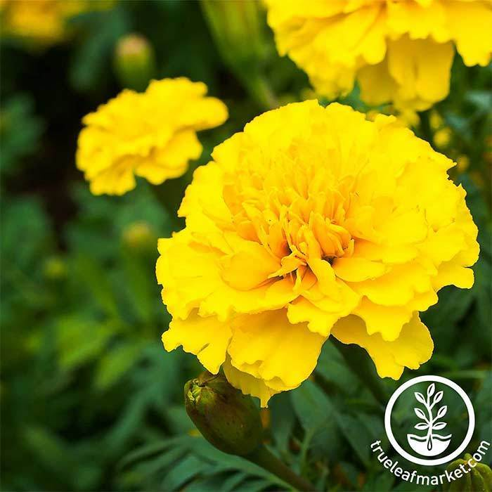 Marigold Janie Series Gold Seed