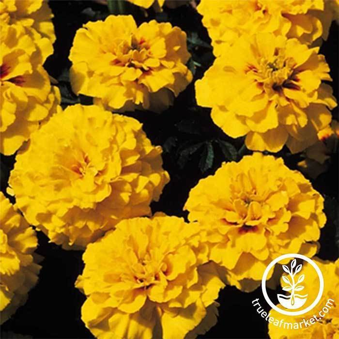 Marigold Janie Series Bright Yellow Seed