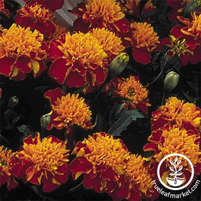Marigold Janie Series Spry Seed