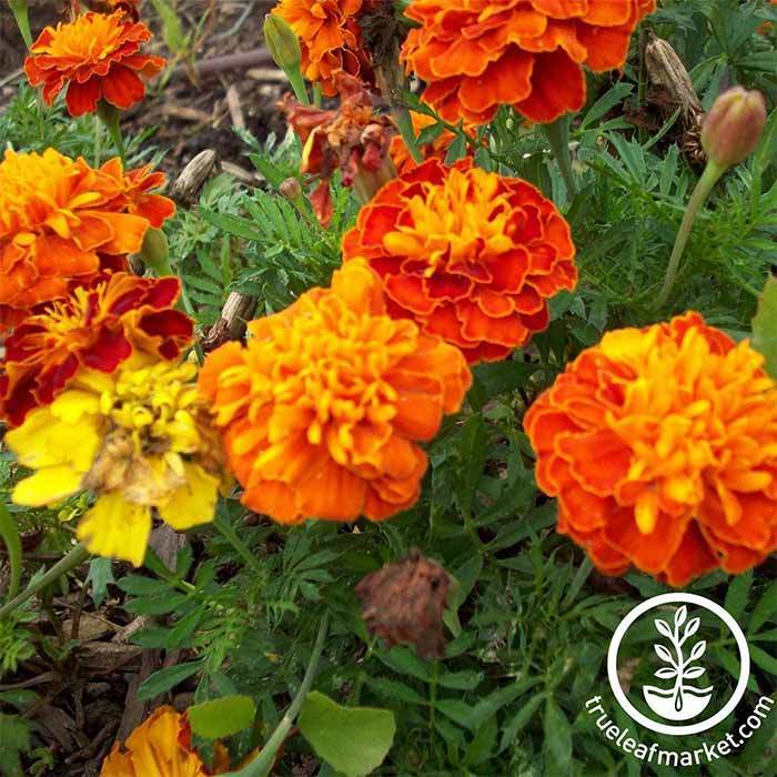 Marigold Petite Mixture Flower Seed