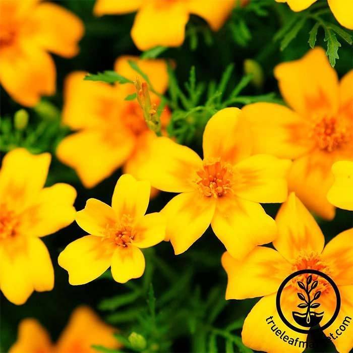 Marigold Signata Gem Flower - Golden