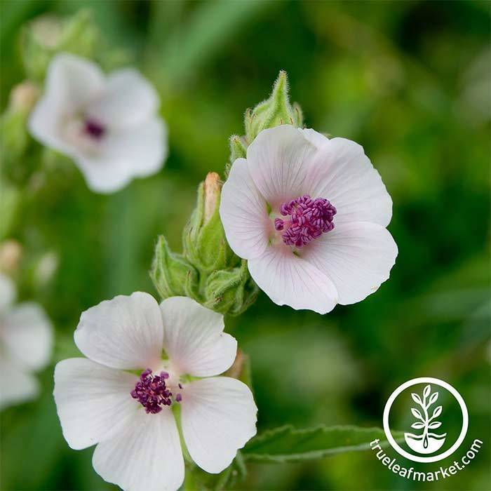 Marshmallow Herb Seeds